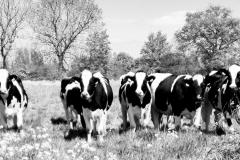 11-Koeien