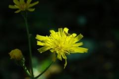 Lucie-bloem 1